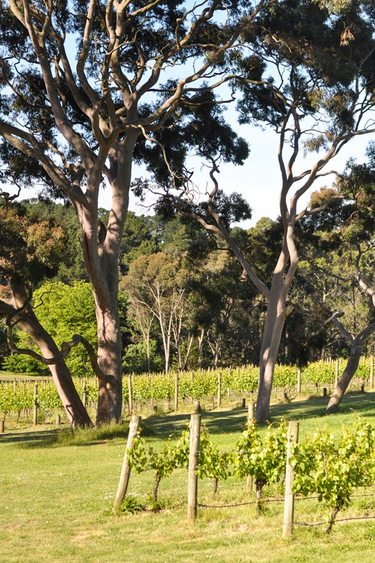 Thankfifi- Polperro Winery review, Red Hill, Mornington Peninsula, Australia-10
