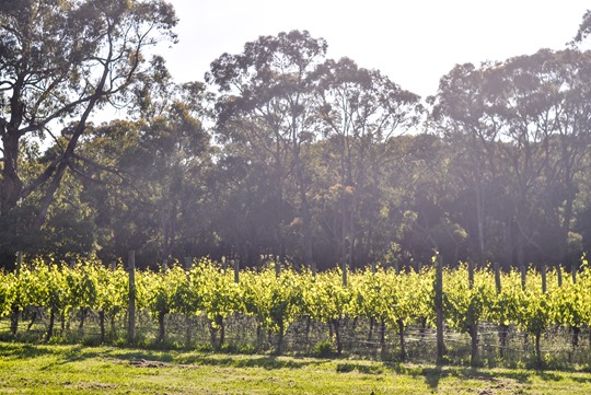 Thankfifi- Polperro Winery review, Red Hill, Mornington Peninsula, Australia-13