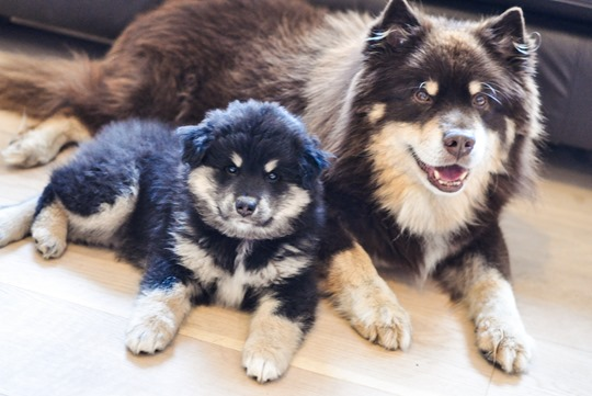 Thankfifi- Finnish Lapphund puppy family-4