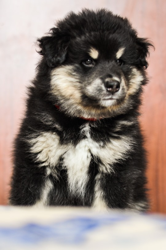 Thankfifi- Finnish Lapphund puppy family-8