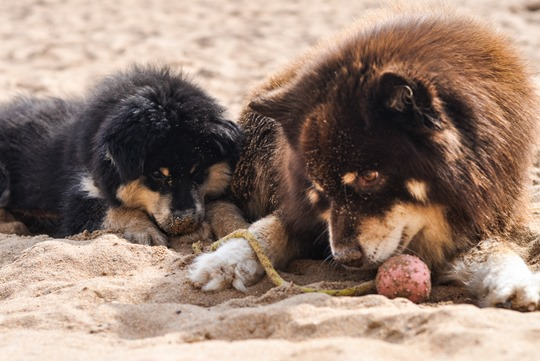 Thankfifi- Elie beach with the Finnish Lapphund family-8