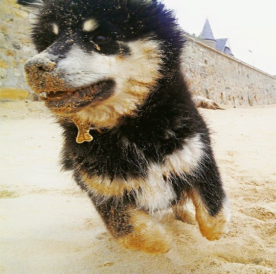 Thankfifi--Elie-beach-with-the-Finnish-Lapphund-puppy-7