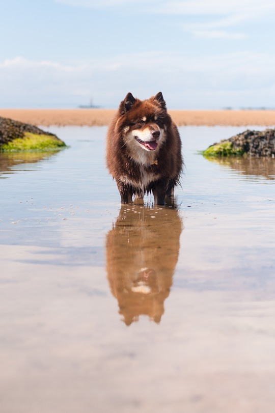 Thankfifi- Finnish lapphunds on Elie beach, dog beach Scotland