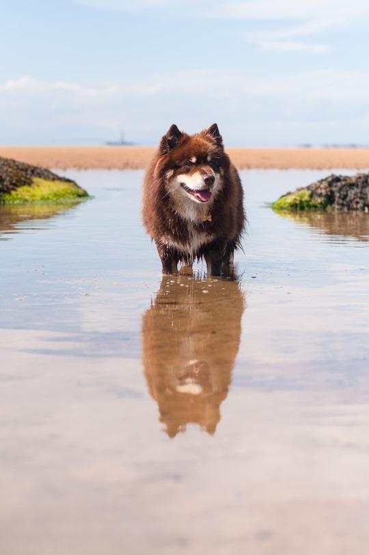 Thankfifi- Finnish lapphunds on Elie beach, dog beach Scotland