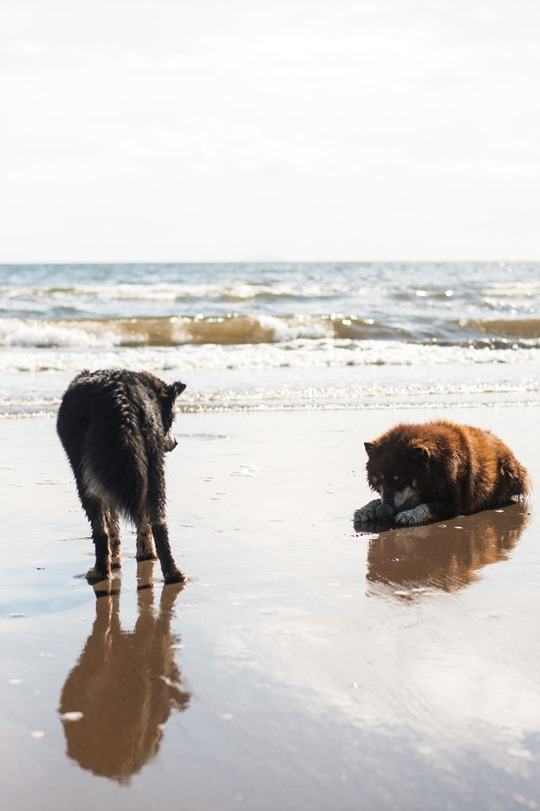 Thankfifi- Troon beach reflections - finnish lapphunds playing on the beach-3