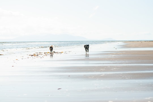 Thankfifi- Troon beach reflections - finnish lapphunds playing on the beach