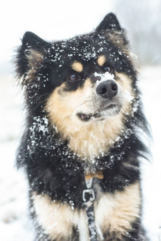 Thankfifi- Infindigo Finnish Lapphunds in the snow, Mugdock Country Park, Scotland-16