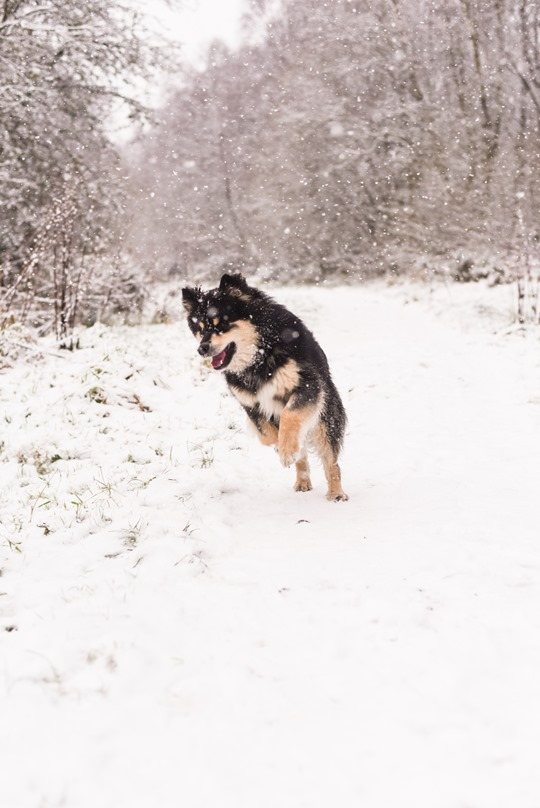 Thankfifi- Infindigo Finnish Lapphunds in the snow, Mugdock Country Park, Scotland-9