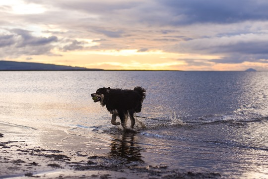 Thankfifi - sunset on Troon beach with the Finnish Lapphunds-2