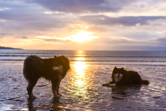 Thankfifi - sunset on Troon beach with the Finnish Lapphunds-5
