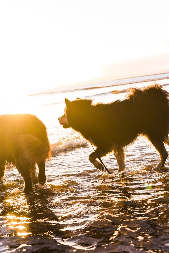 Troon beach with the Finnish Lapphunds - Thankfifi-22