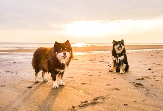 Troon beach with the Finnish Lapphunds - Thankfifi-27