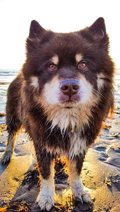 Troon beach with the Finnish Lapphunds - Thankfifi-28