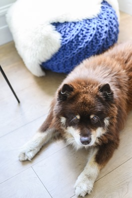 Finnish Lapphund boys - Thankfifi fashion blog-2