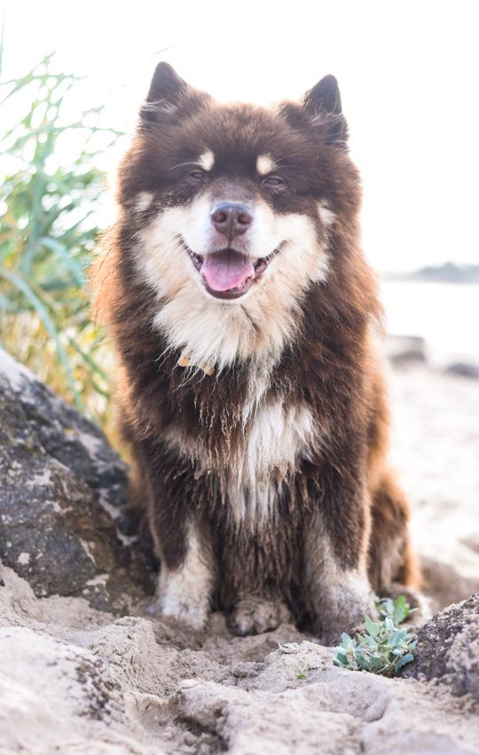 Finnish Lapphunds on North Berwick beach - Thankfifi Scottish travel blog-6