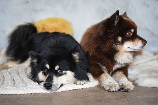 brown-and-black-finnish-lapphunds-on-bluebellgray-sanday-throw-thankfifi-scottish-lifestyle-blog-2