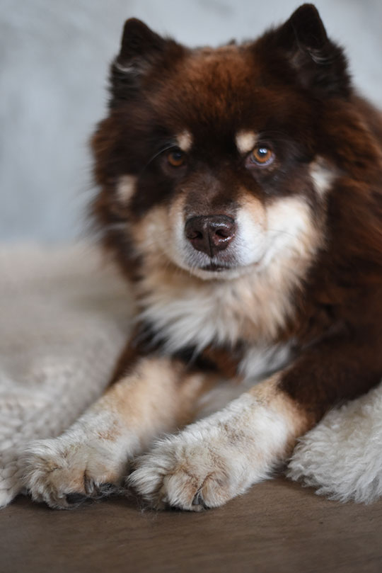 brown-and-black-finnish-lapphunds-on-bluebellgray-sanday-throw-thankfifi-scottish-lifestyle-blog-3