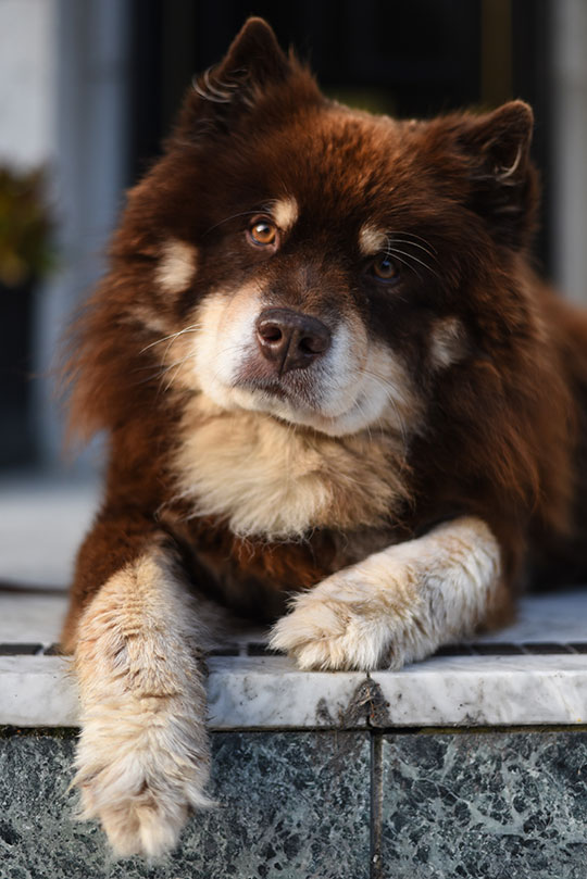brown-and-red-finnish-lapphund-thankfifi-scottish-fashion-blog-3